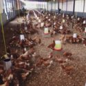 Healthy Free Range Point Of Lay Pullets