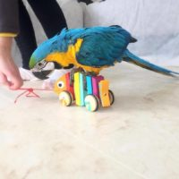 Hand tamed macaws with big cage and nest for sale
