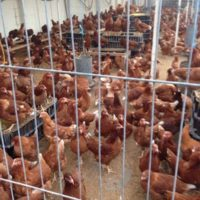 Chicken Cages, Brooder, Fencing Wire, Leg Rings, Chicken Houses, Feed