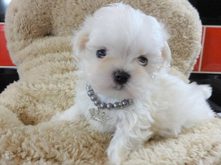 Teacup Maltese Puppy for free adoption – Johannesburg