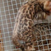 Bengal Kittens Brown Rosette Ready Now