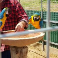pair of blue and gold macaws for sale